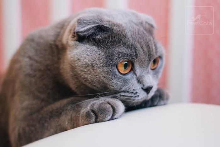 scottish-fold-ojos-marrones