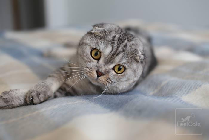 gato-scottish