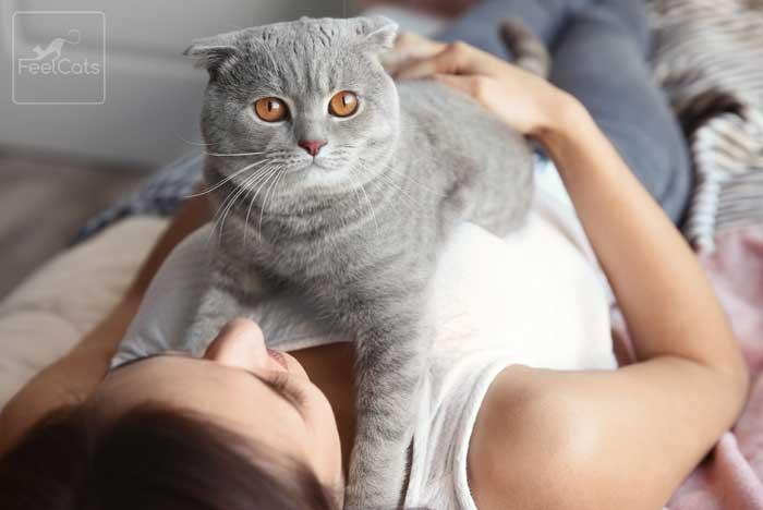 cuidados-del-gato-scottish-fold