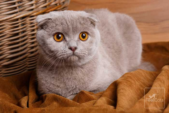 gato-scottish-fold-gris