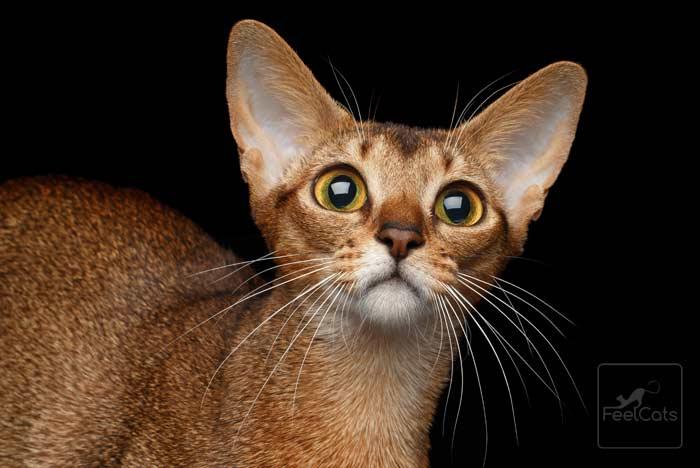 abisinio-gatos