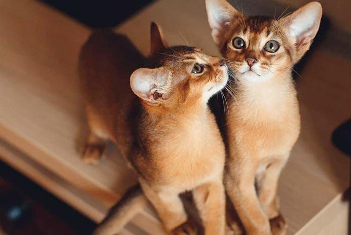 abisinio-gato-origen