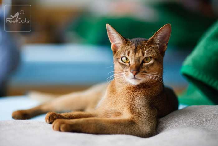 abisinio-gato-precio