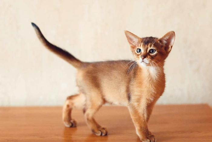 abisinios-gato
