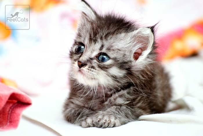 Como saber si un gato es macho o hembra