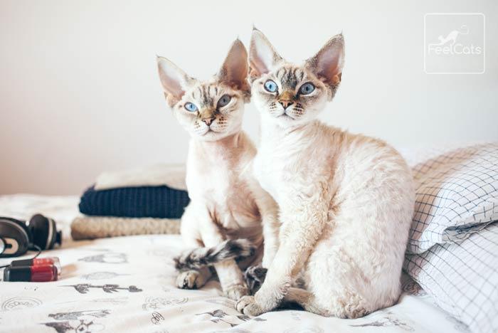gatos-devon-rex-informacion
