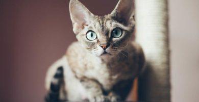 Devon Rex de ojos verdes