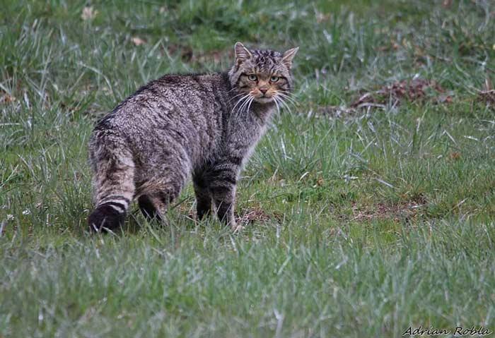 gato-montes-salvaje