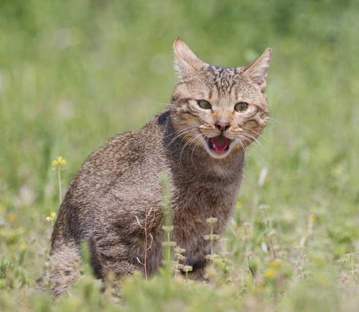celo-gato-montes-reproduccion