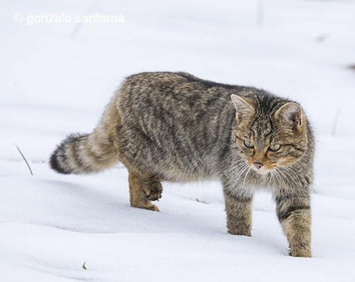 especie-protegida-gato-montes