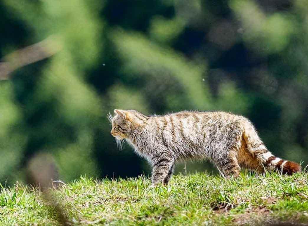 gato-montes-europa