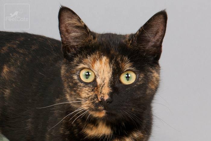 gato-tricolor-manchado