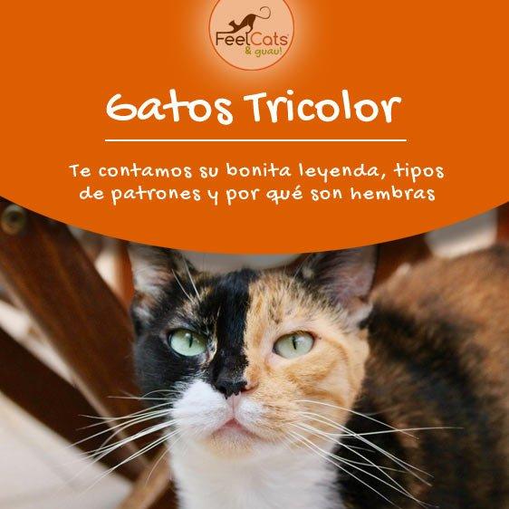 tricolor-en-gatos