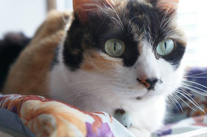 gato-de-tres-colores-tricolor