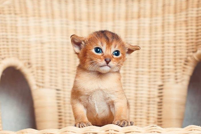 gatito-abisinio-salud