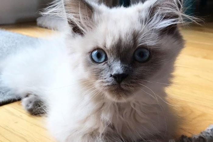 gato-himalayo-pequeno