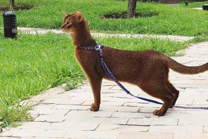 gato-abisinio-de-paseo