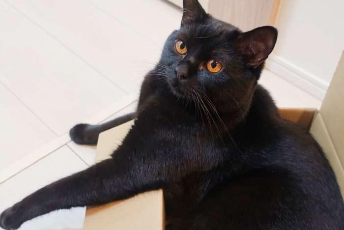 gato-pantera