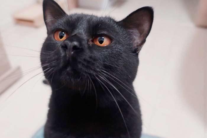 ojos-dorados-gato-bombay