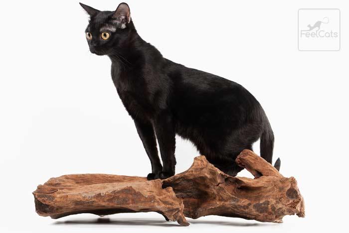 gato-raza-bombay