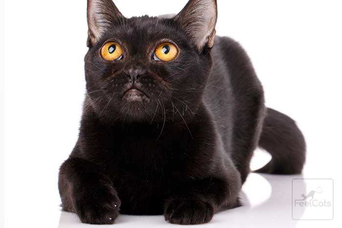 bombay-cat-gato