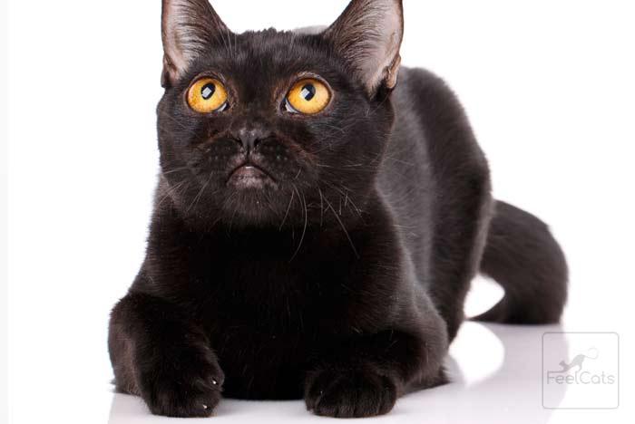 bombay-cat-gato