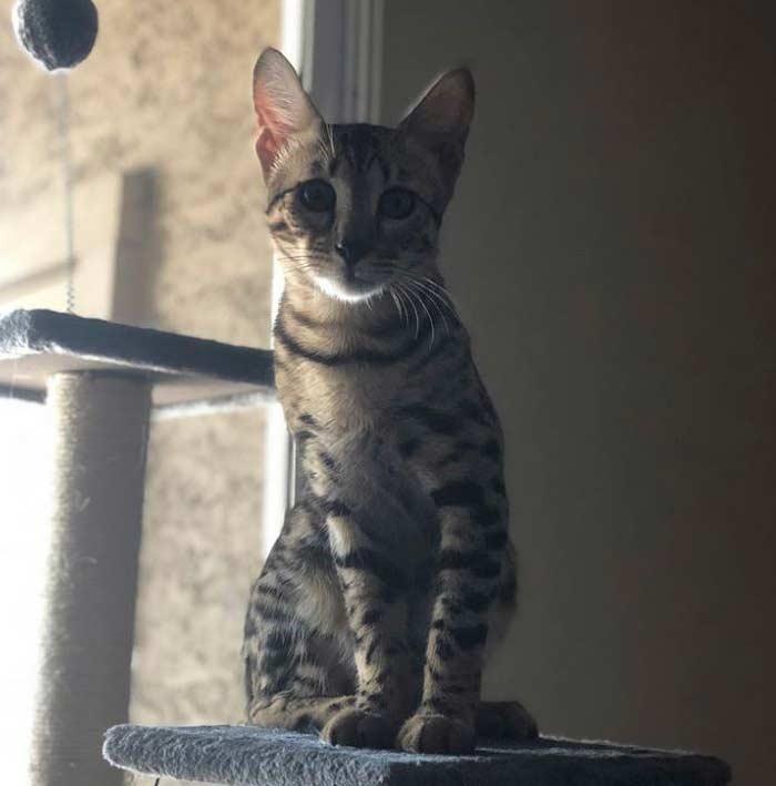 gato-savannah-alto