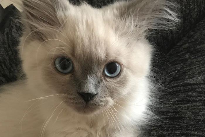 gato-himalayo-de-criadores