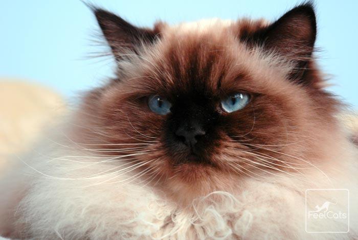 gato-himalayo-informacion