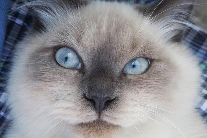 ojos-azules-de-gato-himalayo