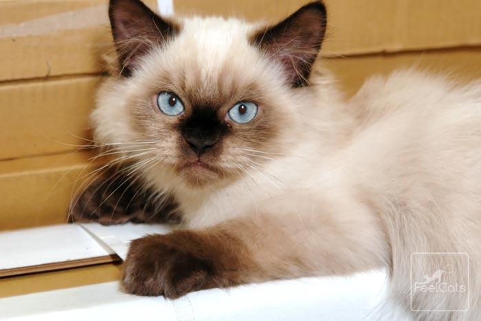 gatos-himalayos-precio