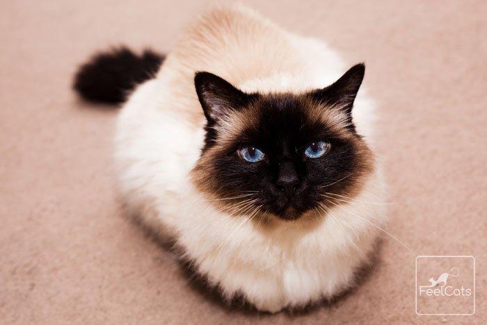 himalayan-cat-de-ojos-azules