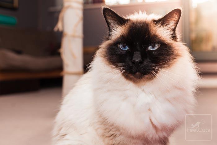 gato-himalayo-persa