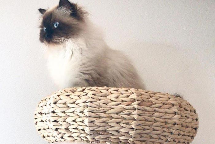 gato-himalayo-en-cama