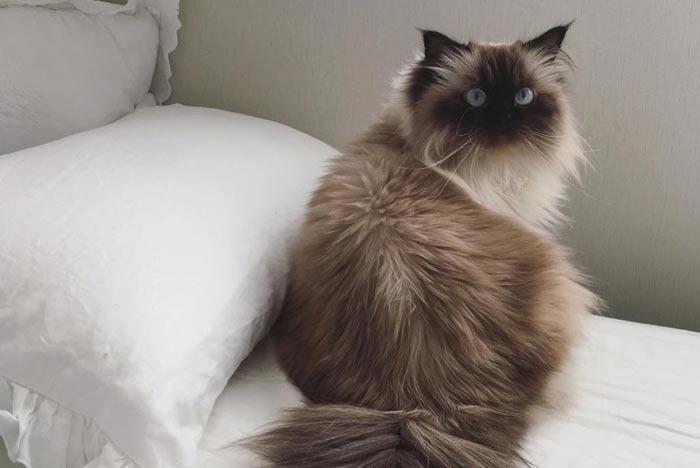 pelo-gato-himalayo