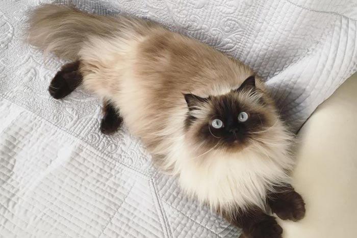 gato-himalayo-de-ojos claros