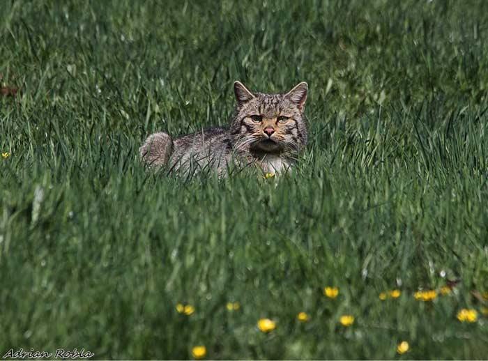 gato-montes-habitat