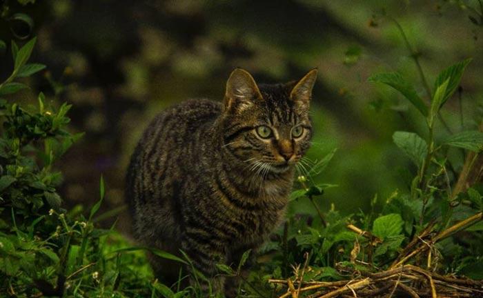gato-montes-bosque