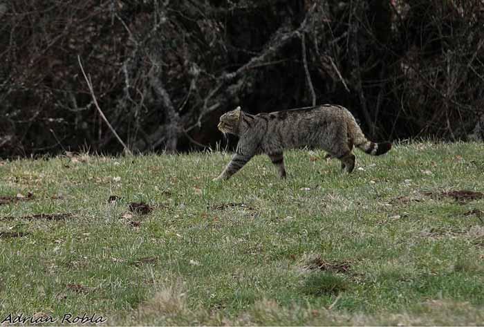 gato-montes-alimentacion-caza