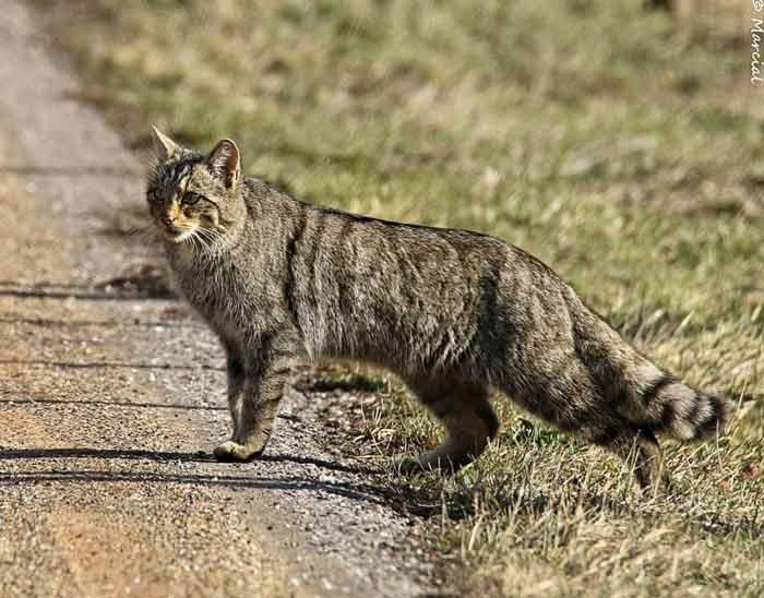 gato-montes-iberico