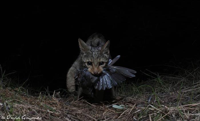 gato-montes-espana