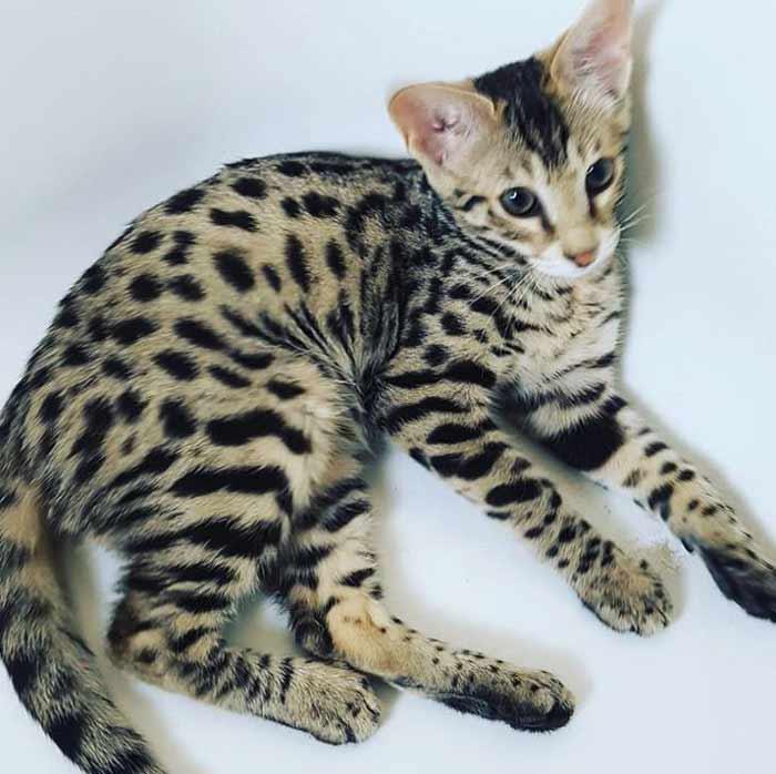 gato-sabana