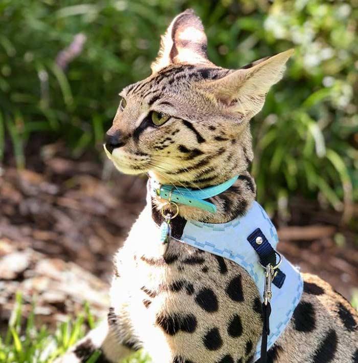 gatos-savannah