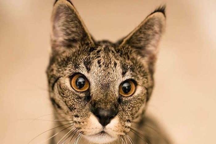 gato-serval-savannah