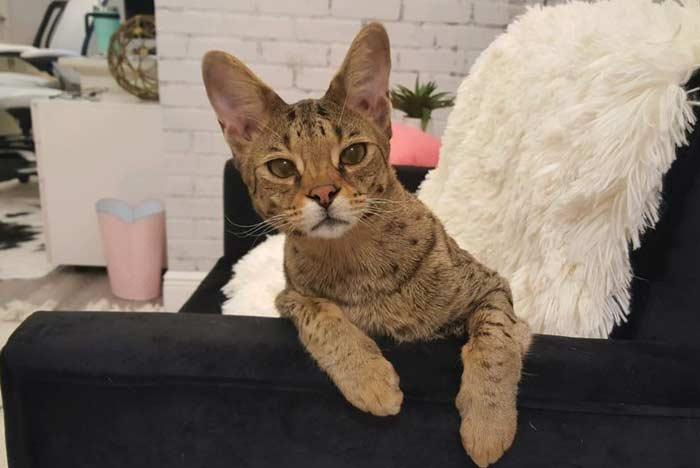 gato-savannah-domestico
