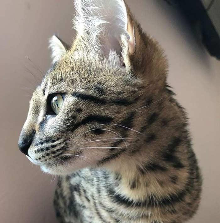 gato-savannah-macho-joven
