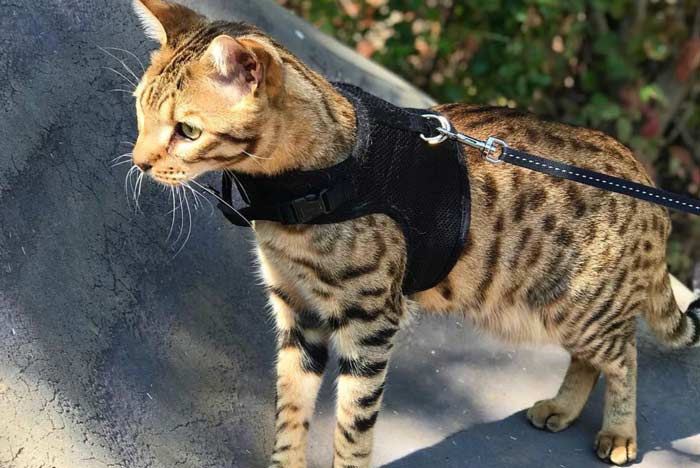 gato-savannah-arnés