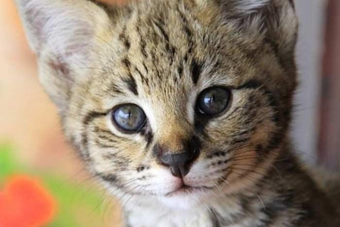 gatito-serval-savannah