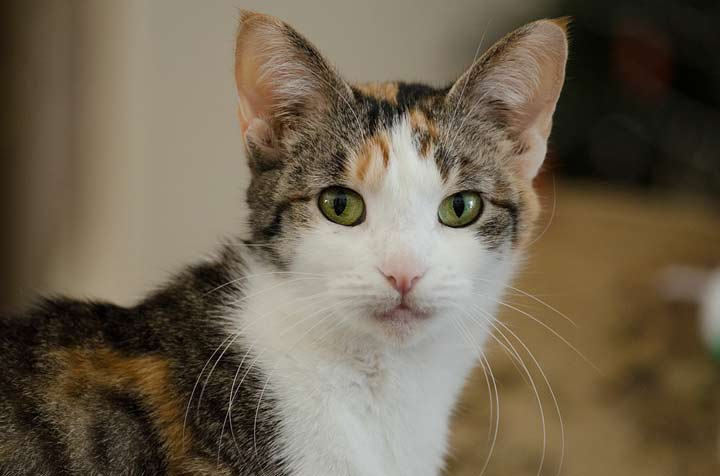 gato-tricolor-atigrado