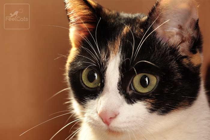 gato-tricolor-calico